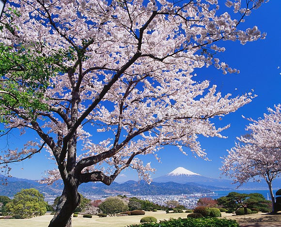 Japan Cherry blossom stock images