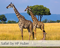 Safari by HP Huber